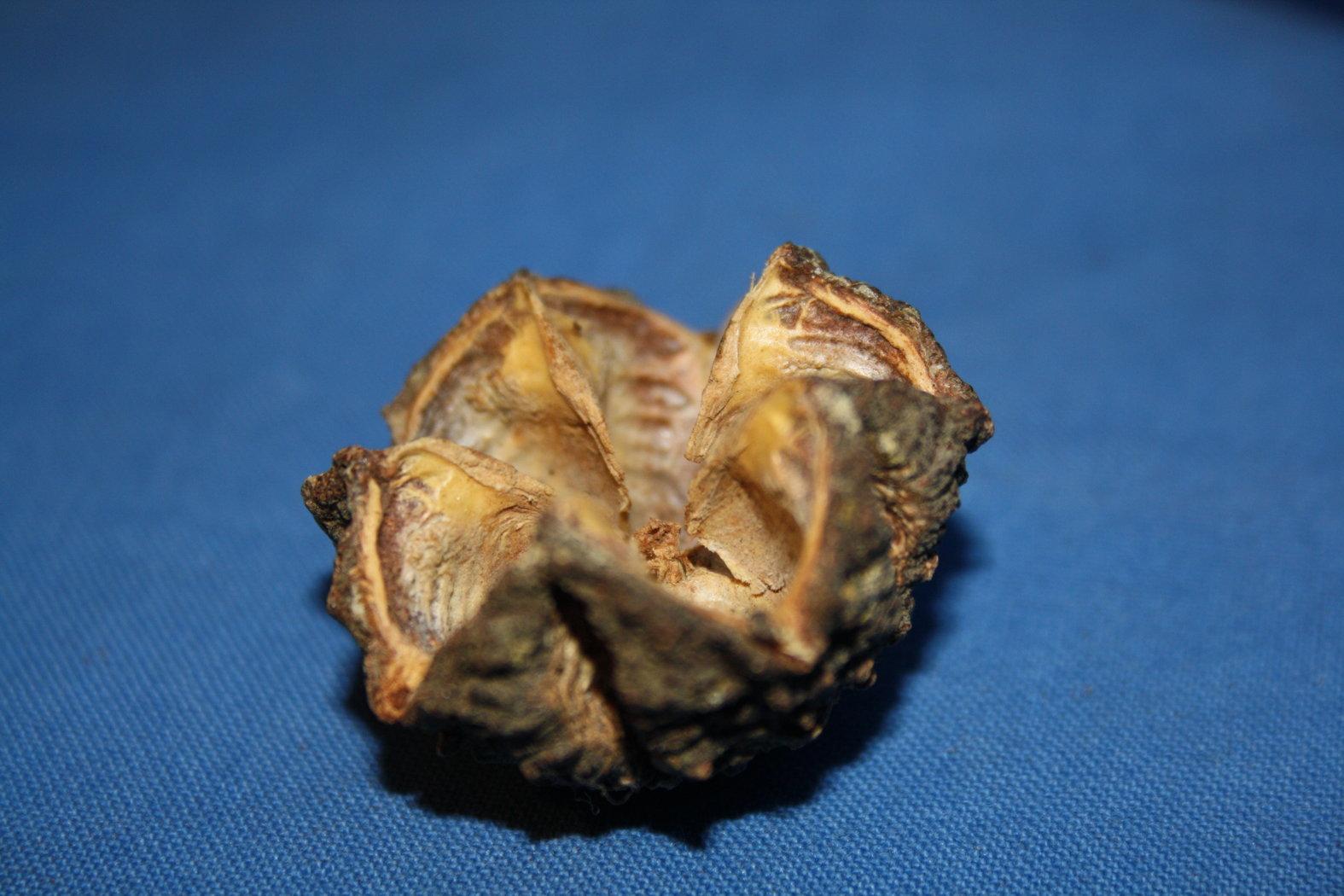 Austernfrucht mamoninha bizarre natur for Baumwollzweige dekoration