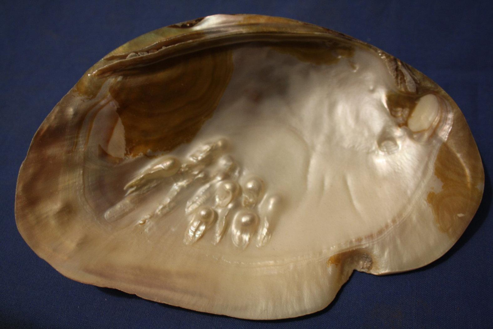 Perlenmuschel - Bizarre NATUR